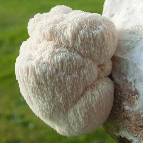 potenciális gombák a torok papillómájának kezelése