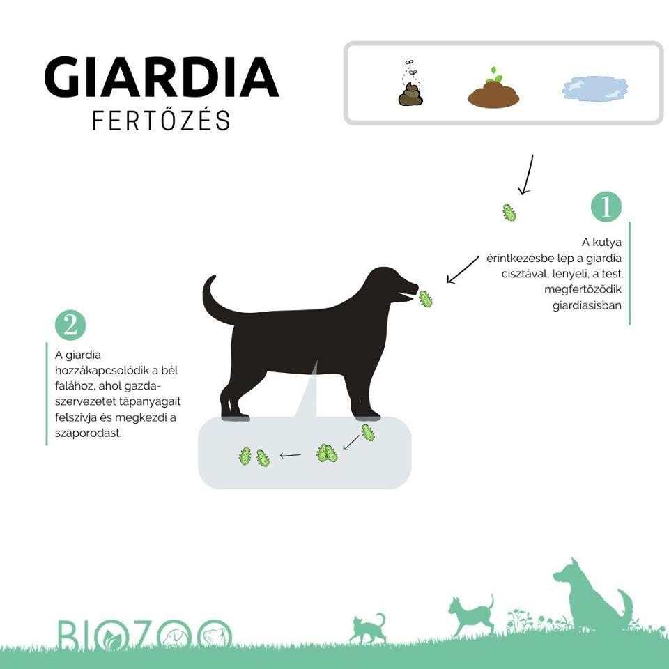 giardia parazita kutya prosztatarák bajusz
