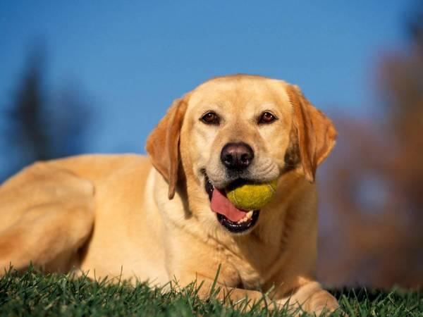 Kutyadaganatok: típusok, tünetek és kezelés. Kutyák rák Nagy kutya tumor