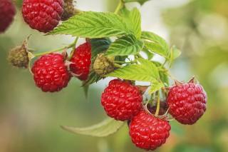 Lesújtó hír: a bogyós gyümölcsök piacát sem kímélte a koronavírus-járvány