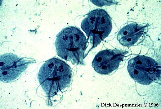 Ascaris emberi fertőzés. Jobb gyógyszer férgeknek a férgek számára