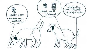 Giardia bij honden behandelen - vadhibiscus.hu