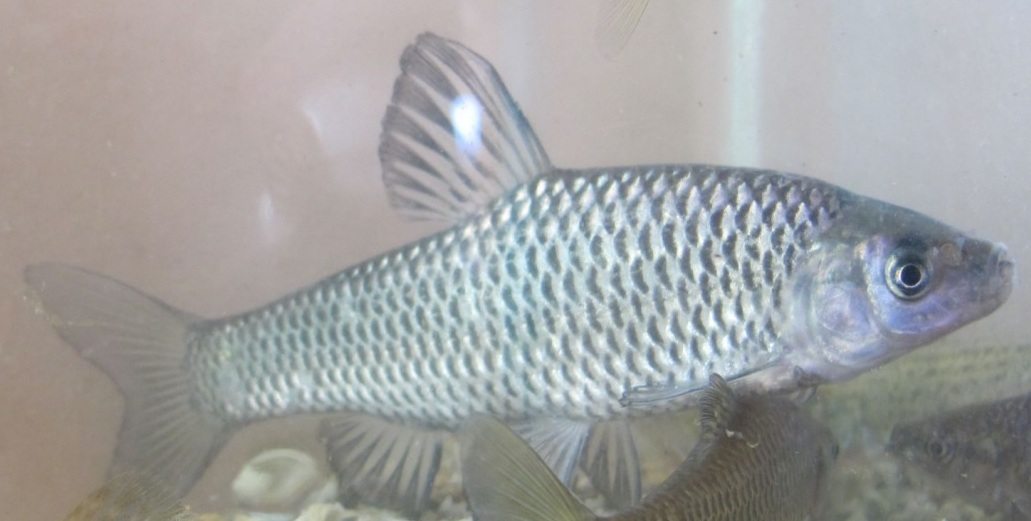 parazita rybicek