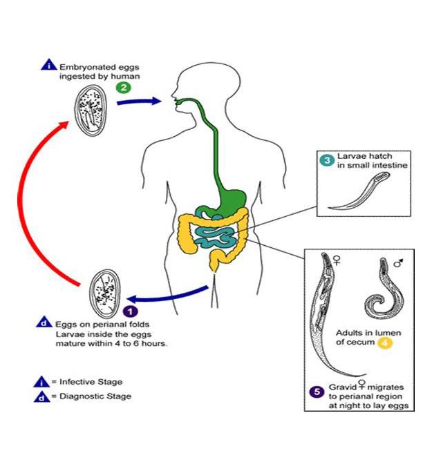 Enterobiosis engedély