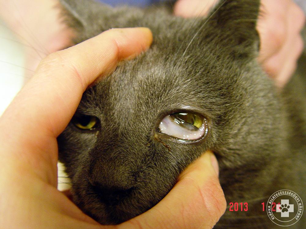 crevni paraziták kod macaka tünetei
