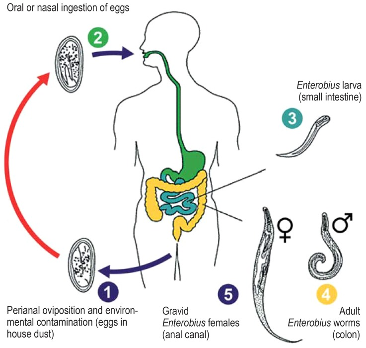 Piperazine kezelés pinworms