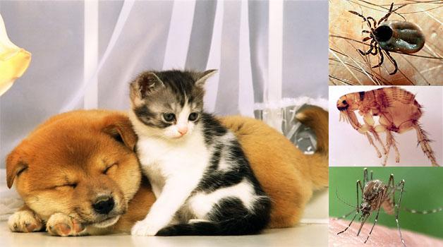 KÜLSŐ PARAZITÁK OKOZTA BETEGSÉGEK | Kutyatár | Kézikönyvtár