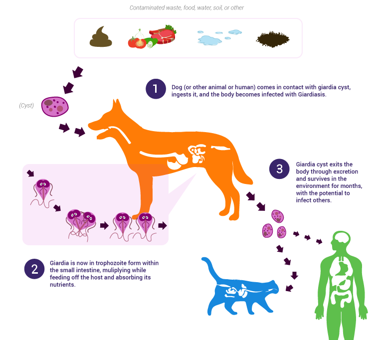 Giardia bij honden behandelen, Hivatkozások | Ceauto, Giardia parasiet hond behandeling