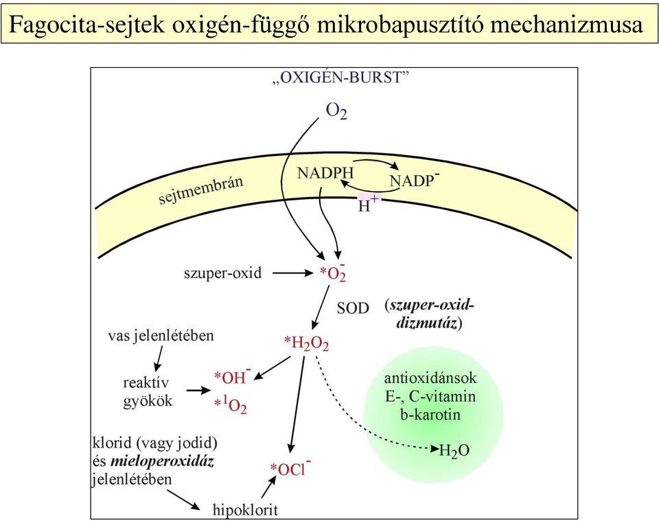 xdr baktériumok
