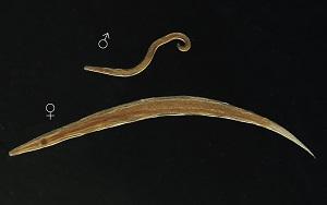 A pinworms a legegyszerűbb. Enterobiasis (pinworms)