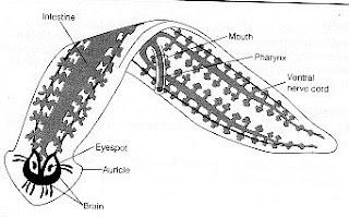 ocelli platyhelminthes