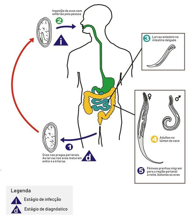 paraziták a lép tüneteinek kezelésében exofita és endofita kondilomák