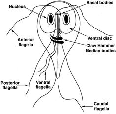anti-parazita vélemények - vadhibiscus.hu - Giardia paraziti kod ljudi
