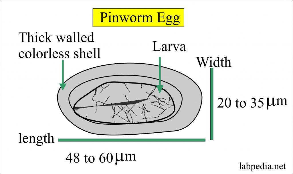 tojást tojó enterobius vermicularis szemölcsök sírjai
