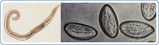 Pinworm petesejtek elpusztulnak - vadhibiscus.hu