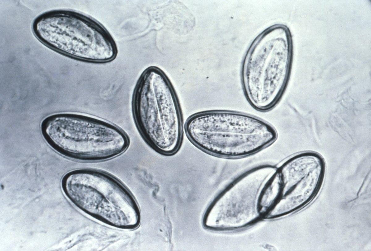 enterobius vermicularis reproducao