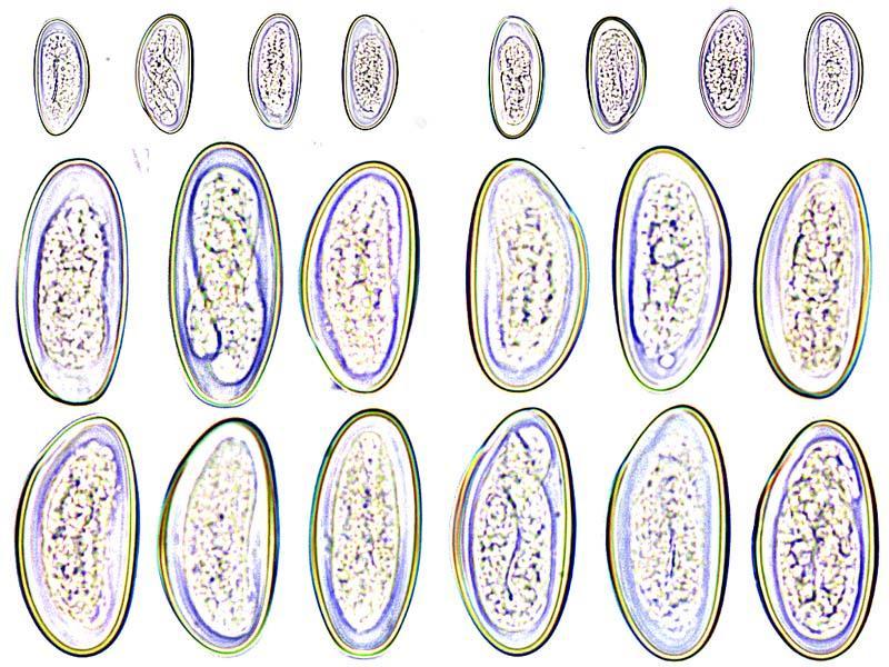 enterobius vermicularis vektor