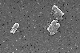 opportunista baktériumok