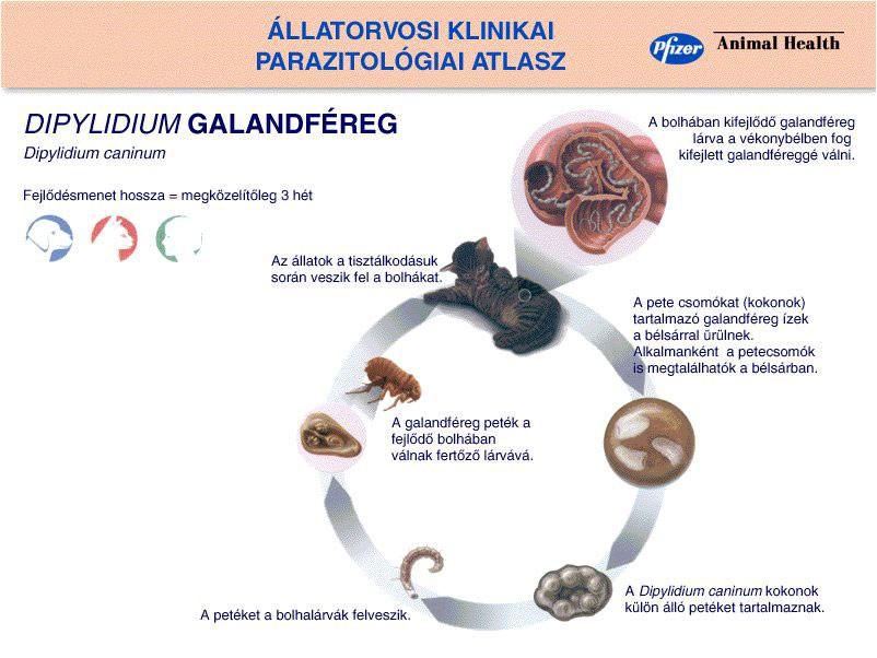 galandféreg gyógyszerek emberek számára