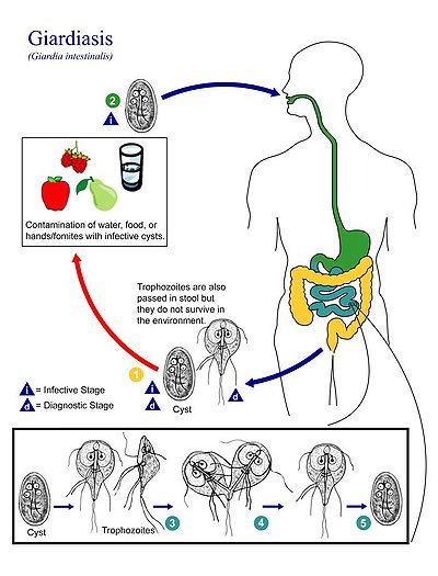Giardia symptoms nz, Amigdala - Az servitaudvarhaz.hu elindult - PDF Free Download