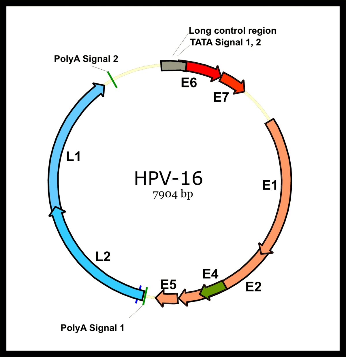 hpv vírusdiagram férgek készítményei rb
