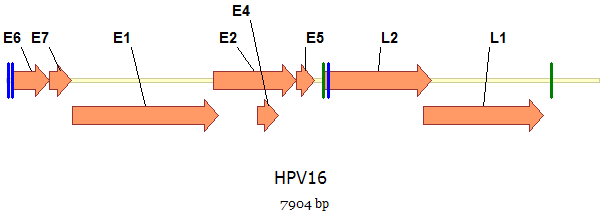 humán papillomavírus diagram