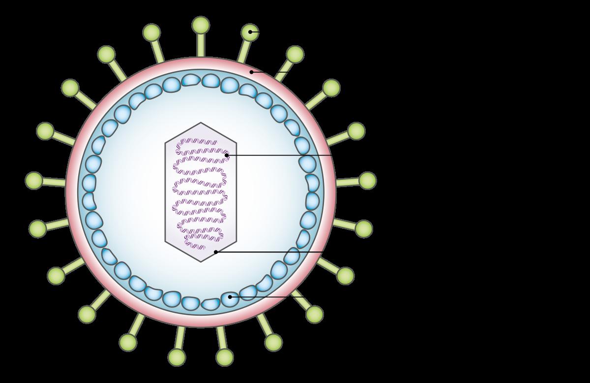 mi az emberi papillomavírus hpv fertőzés