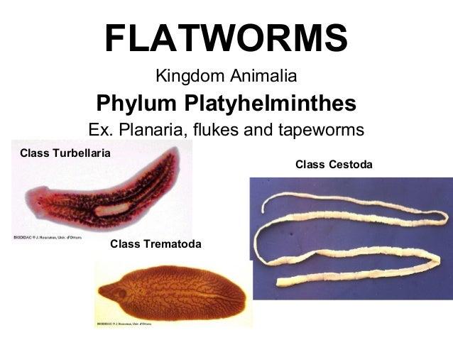 platyhelminthes turbellaria példák