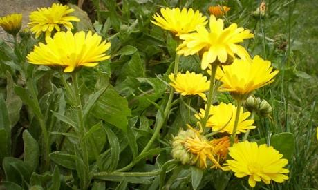 Az élénksárga, fészkes virágzatú gyógyír: ez a körömvirág