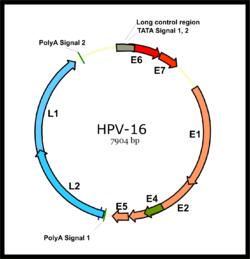 hpv zselés vírus