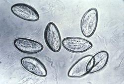 oxiurus urios verme)