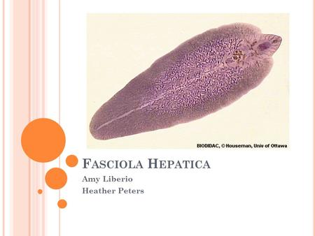 Phylum platyhelminthes coelom típus Parazita típusú coelenterates