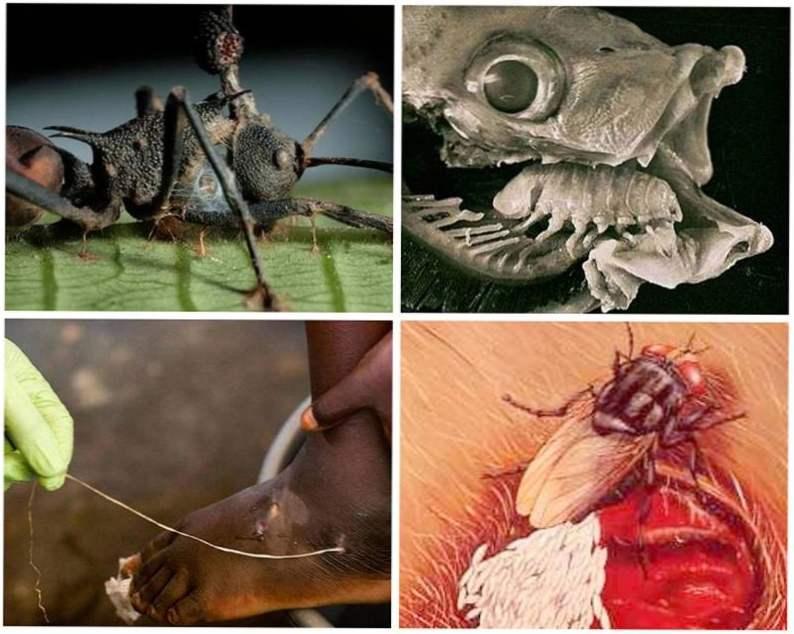 parazita zivotinje a papilloma nemi életet élhet