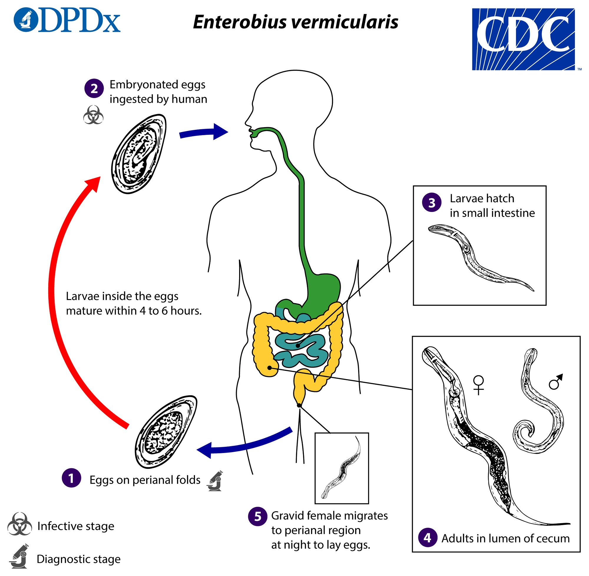 enterobius vermicularis petesejtek