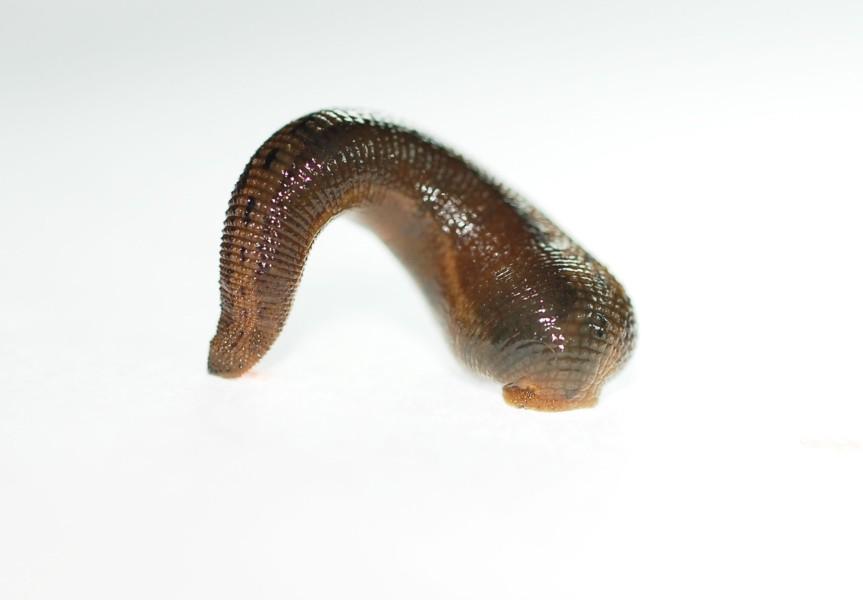 gyűrűs férgek szarvasmarha-paraziták kezelése