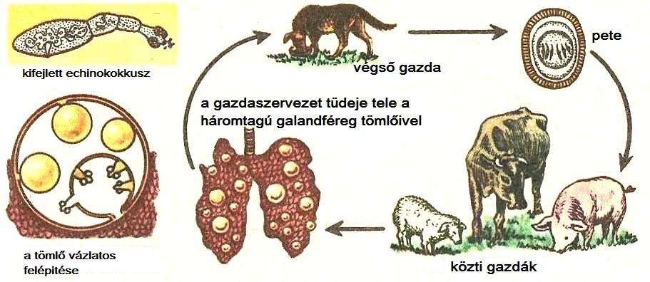 galandféreg parazita)