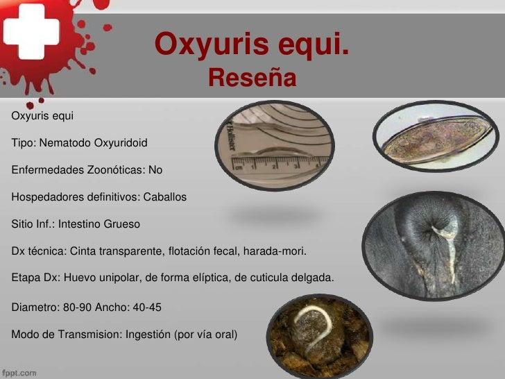 Életciklus oxyuris equi. Enterobius vermicularis (Gombféreg)