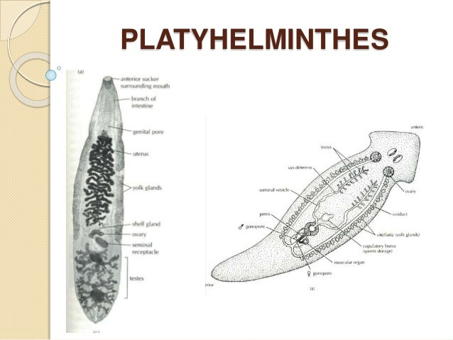 platyhelminthes tegument sincitial