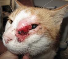 szájüregi rák macskáknál